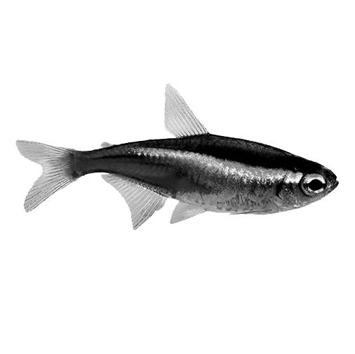 Cá tép