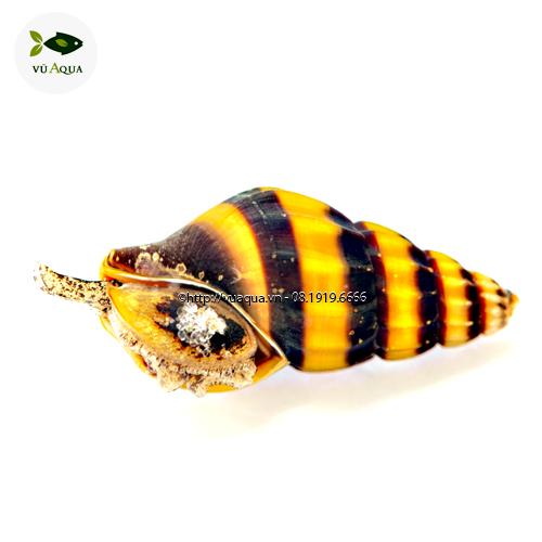 ốc ăn ốc
