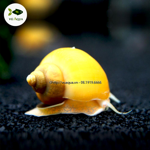 ốc táo vàng